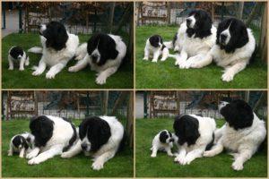 papa mama pups2